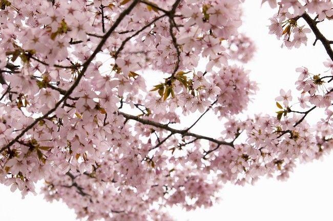 吉野山桜祭り